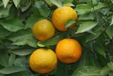 Orange pomaranèa_MG_3352-1.jpg