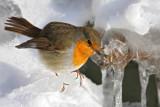 Robin Erithacus rubecula  ta¹èica_MG_4154-11.jpg