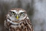 Little owl Athene noctua �uk_MG_3759-11.jpg