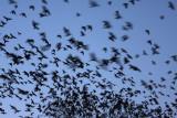 Jackdaw Corvus monedula on roost kavka_MG_4652-11.jpg
