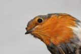 Robin Erithacus rubecula  taščica_MG_4431-11.jpg