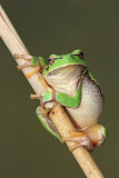 european_tree_frog_hyla_arborea