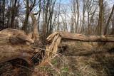Fallen  trees podrta drevesa_MG_8259-11.jpg