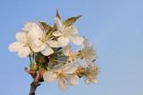 Wild cherry Prunus avium divja èe¹nja_MG_0034-11.jpg