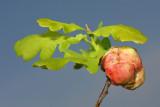 Oak gall hrastova šiška_MG_0535-11.jpg