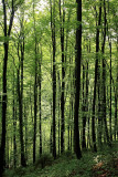 Beech forest bukov gozd_MG_9650-11.jpg