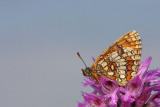 Heath fritillary Melitaea athalia navadni pisanèek_MG_1849-11.jpg