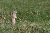 European ground squirrels Spermophilus citellus tekunica_MG_0683-11.jpg
