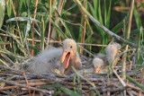 Youngs on the nest mladièi na gnezdu_MG_0970-11.jpg