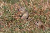 European ground squirrels Spermophilus citellus tekunica_MG_0599-11.jpg