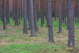 Pine forest borov gozd_MG_2001-11.jpg