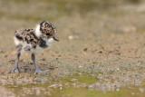 Lapwing young mladiè pribe_MG_1215-11.jpg