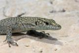 Sharp-snouted lizard Dalmatolacerta (Lacerta) oxycephala šiloglavka_MG_27651-11.jpg