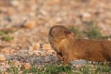 Indian mongoose Herpestes auropunctatus mungo_MG_3140-11.jpg