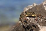 Green crab Carcinus mediterraneus obre¾na rakovica_MG_3411-11.jpg