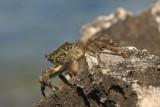 Green crab Carcinus mediterraneus obre¾na rakovica_MG_3426-11.jpg