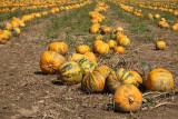 Oilseed pumpkin Cucurbita pepo oljna buèa_MG_3239-11.jpg