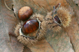Sweet chestnut Castanea sativa pravi kostanj_MG_7764-11.jpg
