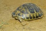Spur-thighed tortoise Testudo graeca mavrska kornjača -0021.jpg