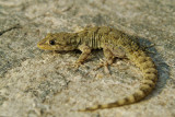 Kotschy's Gecko Mediodactylus kotschyi egejski goloprstnik-0083-11.jpg
