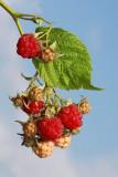 Raspberry malina_MG_5881-11.jpg