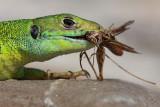 green_lizard_zelenec