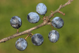Blackthorn Prunus spinosa črni trn_MG_8551-11.jpg