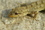 Kotschy's Gecko Mediodactylus kotschyi egejski goloprstnik-0096-11.jpg
