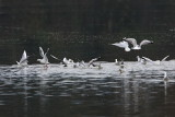 Black-headed gull Chroicocephalus ridibundus rečni galeb_MG_8329-11.jpg