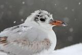 Black-headed gull Chroicocephalus ridibundus rečni galeb_MG_0565-11.jpg
