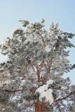 Pine bor_MG_6030-11.jpg