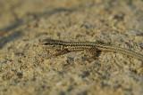 Erhard's wall lizard Podarcis erhardii egejska pozidna ku�čarica_0056-11.jpg