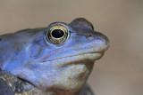 Moor frog Rana arvalis barska �aba_MG_1998-111.jpg