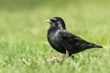 Starling Sturnus vulgaris �korec_MG_2918-11.jpg