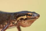 Smooth newt Lissotrition (Triturus) vulgaris navadni pupek_MG_2775-11.jpg
