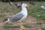 Yellow-legged gull Larus michahellis rumenonogi galeb_MG_7328-11.jpg