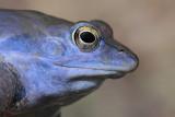 Moor frog Rana arvalis plavček_MG_1978-111.jpg