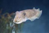 Cuttlefish Sepia officinalis navadna sipa_MG_7397-11.jpg