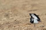 Lapwing Vanellus vanellus priba_MG_2737-11.jpg