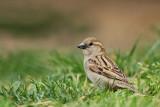 House sparrow Passer domesticus domači vrabec_MG_7613-11.jpg