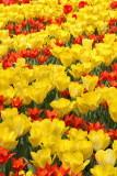 Tulips tulipani_MG_8838-111.jpg