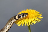 Grass snake Natrix natrix belou�ka_MG_8871-111.jpg