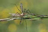 Common crane fly Tipula oleracea ko�eninar_MG_9021-111.jpg