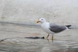Gull feeding with pigeon galeb se hrani z golobom_MG_79311-111.jpg
