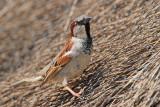 House sparrow Passer domesticus domači vrabec_MG_8383-11.jpg