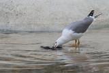 Gull feeding with pigeon galeb se hrani z golobom_MG_7946-11.jpg