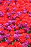 Tulips tulipani_MG_8781-11.jpg