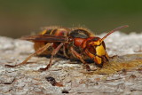 European hornet Vespa crabro sr�en_MG_26251-111.jpg