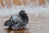 Rock dove Columba livia skalni golob_MG_7895-111.jpg