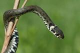 Grass snake Natrix natrix belou�ka_MG_9667-111.jpg